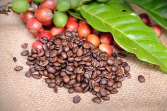 La r colte des grains de caf un amour de caf vente de caf quitable et - Meilleur cafe en grain ...